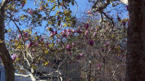 2011-01-19_magnolias