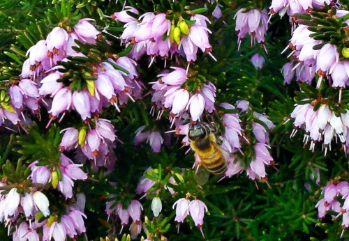 Beesontheheather